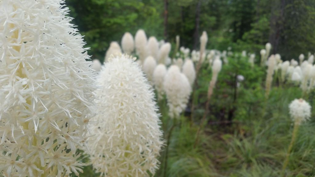 Beargrass at Upper Two Medicine - Mya Davis.jpg