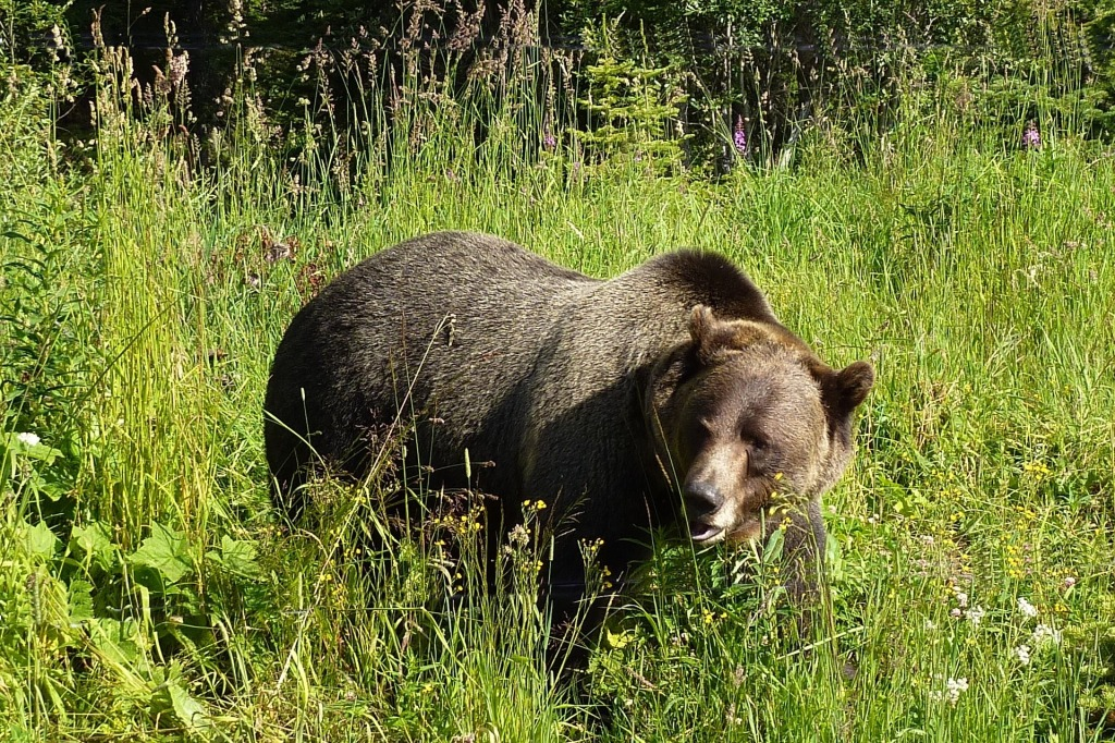 grizzly-1180556_1920.jpg